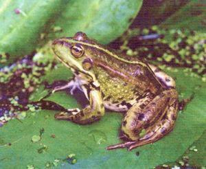 Съедобная лягушка (удм. вож бака, эбек). Красная книга Удмуртии.