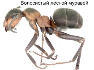 Волосистый лесной муравей. Муравьи Удмуртии.