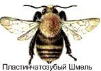 Пластинчатозубый Шмель. Красная книга Удмуртии.