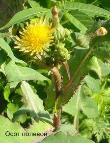 Осот полевой, или осот желтый. Съедобные растения Удмуртии.