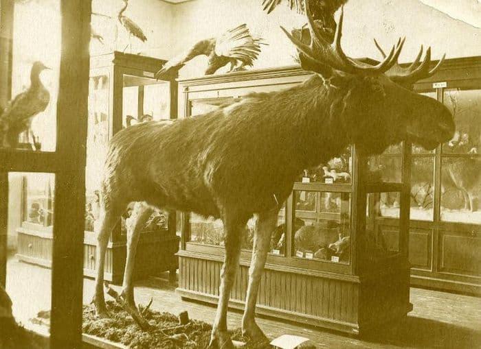 Доме Лятушевича. Удмуртский республиканский краеведческий музей. Чучело лося. 1948 год.