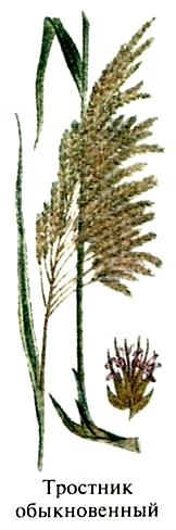 Тростник обыкновенный. Съедобные растения Удмуртии.