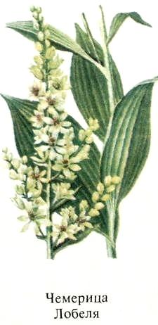 Чемерица Лобеля. Список ядовитых растений с фото.