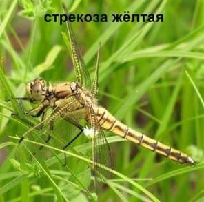 Стрекоза Жёлтая. Насекомые Удмуртии.