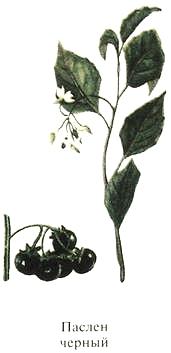 Растение Паслен черный, ядовитые растения Урала.