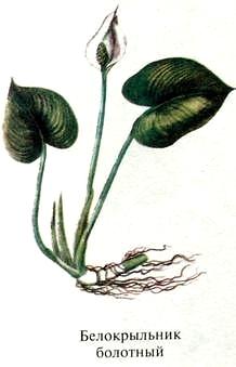 Белокрыльник болотный описание.  Ядовитые растения России фото.