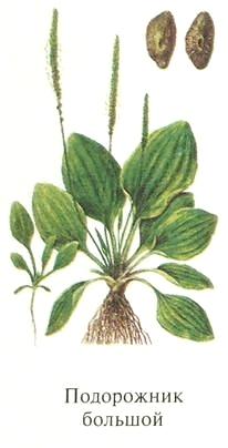 Подорожник большой. Съедобные растения Удмуртии.