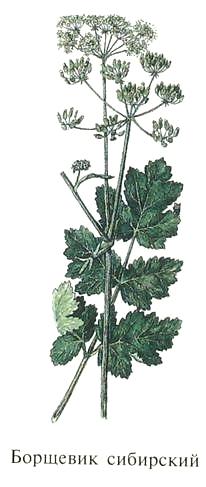 Борщевик сибирский. Съедобные растения Удмуртии.