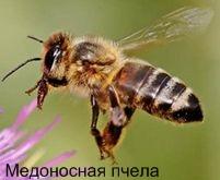 Медоносная пчела. Ядовитые животные Удмуртии