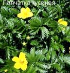 Трава лапчатка гусиная. Блюда из растений Удмуртии.
