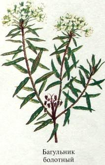 Багульник болотный описание. Ядовитые растения Удмуртии.