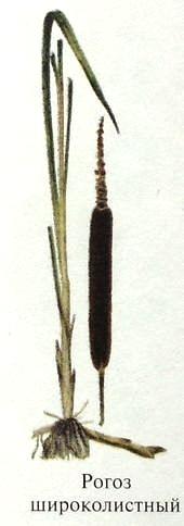 Рогоз широколистный. Чернопалочник или камыш. Съедобные растения Удмуртии.