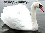 Лебедь-Шипун. Красная книга Удмуртии.