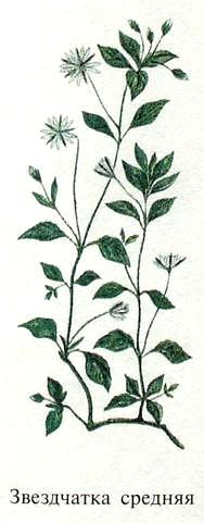 Звездчатка средняя, или мокрица. Блюда из растений.