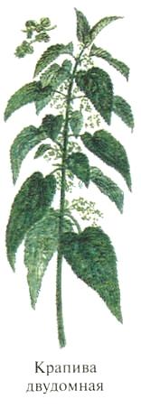 Крапива двудомная. Блюда из растений Удмуртии.