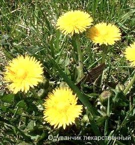 Одуванчик лекарственный. Съедобные растения Удмуртии.