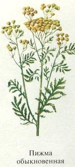 Пижма обыкновенная свойства. Ядовитые растения Удмуртии.