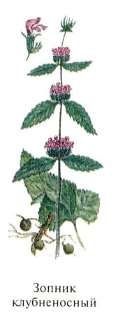 Зопник клубненосный. Блюда из растений Удмуртии.