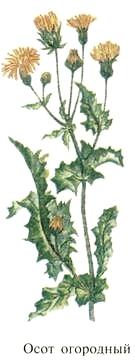 Осот огородный.  Салаты, винегреты из растений Удмуртии.