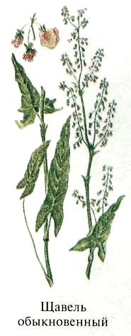 Щавель обыкновенный. Съедобные дикорастущие растения Урала.