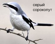 Серый Сорокопут. Красная книга Удмуртии.