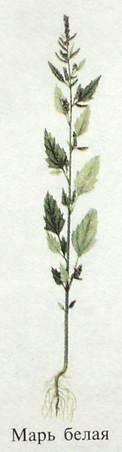 Марь белая, или лебеда обыкновенная. Съедобные растения Удмуртии.