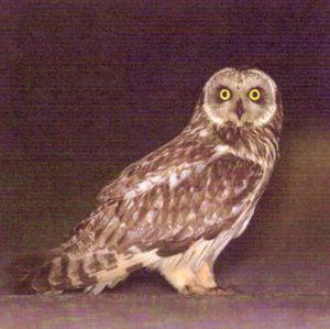 Болотная сова. (удм. куд/нюр кучыран) - Asio flammeus (Pontoppidan, 1763) Красная книга Удмуртии.