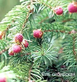 Ель сибирская. Съедобные деревья, кустарники Удмуртии.