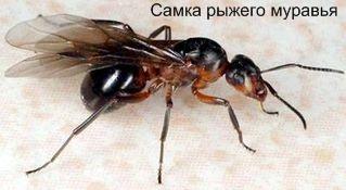 Самка рыжего муравья. Муравьи Удмуртии.