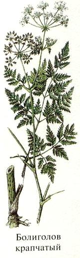 Растение Болиголов крапчатый (или болиголов пятнистый).Названия ядовитых растений.