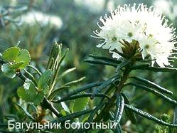 Багульник болотный описание. Ядовитые растения России фото.