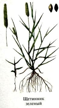 Щетинник зелёный. Съедобные дикорастущие растения Урала.