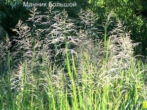 Трава манник большой. Съедобные растения Удмуртии.