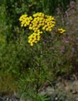 Пижма обыкновенная. Растения лугов Удмуртии.