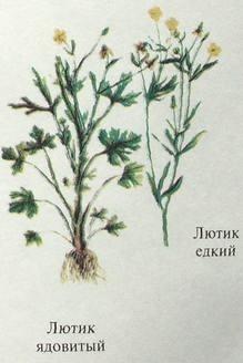Лютик ядовитый описание, ядовитые растения Урала.